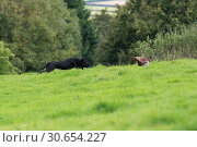 Купить «A black labrador chasing after a runner», фото № 30654227, снято 5 августа 2020 г. (c) Ingram Publishing / Фотобанк Лори