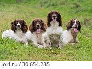 Купить «A portrait of four working springer spaniels on a shoot day», фото № 30654235, снято 5 апреля 2020 г. (c) Ingram Publishing / Фотобанк Лори