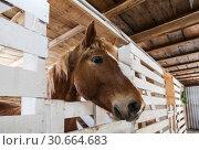 Купить «Horse solovaya in the stalls in the stable», фото № 30664683, снято 20 марта 2019 г. (c) Наталья Волкова / Фотобанк Лори