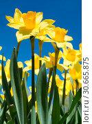 Желтые нарциссы в солнечный весенний день на фоне неба. Стоковое фото, фотограф E. O. / Фотобанк Лори