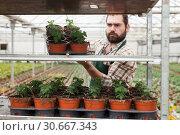 Купить «Young man gardener puts the pots of tomatoes seedling on the shelf», фото № 30667343, снято 9 апреля 2019 г. (c) Яков Филимонов / Фотобанк Лори