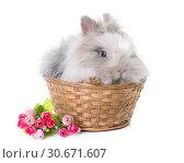 Купить «Dwarf rabbit in studio», фото № 30671607, снято 7 декабря 2017 г. (c) easy Fotostock / Фотобанк Лори