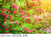 Купить «Боярышник. Spring flower background. Hawthorn tree pink flowers, in Latin Crataegus Laevigata», фото № 30676335, снято 19 июня 2015 г. (c) Зезелина Марина / Фотобанк Лори