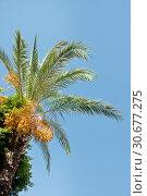 Купить «Date Palm with exotic fruits», фото № 30677275, снято 21 сентября 2018 г. (c) Наталья Двухимённая / Фотобанк Лори