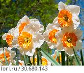Оранжево-белые нарциссы в весенний солнечный день. Стоковое фото, фотограф E. O. / Фотобанк Лори