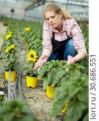 Купить «Female controlling quality of sunflowers», фото № 30686551, снято 9 апреля 2019 г. (c) Яков Филимонов / Фотобанк Лори