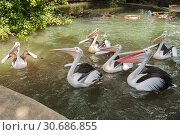 Купить «Flock of Australian pelicans (Pelecanus conspicillatus) in the pond waiting for feeding», фото № 30686855, снято 28 сентября 2010 г. (c) Юлия Бабкина / Фотобанк Лори