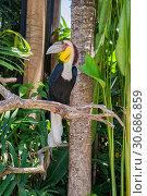 Купить «Wreathed hornbill (Rhyticeros undulatus)», фото № 30686859, снято 28 сентября 2010 г. (c) Юлия Бабкина / Фотобанк Лори