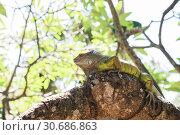 Купить «Green iguana (Iguana iguana) lies on a tree trunk», фото № 30686863, снято 28 сентября 2010 г. (c) Юлия Бабкина / Фотобанк Лори