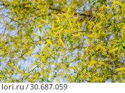 """Цветущая ива ломкая """"Bullata"""" (Salix fragilis Bullata) Стоковое фото, фотограф Алёшина Оксана / Фотобанк Лори"""
