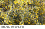 Close-up view of yellow flowers of Silver cassia plant. Стоковое видео, видеограф Яков Филимонов / Фотобанк Лори