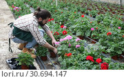Купить «Positive man gardener examining plants of geranium for better growing in greenhouse», видеоролик № 30694147, снято 26 апреля 2019 г. (c) Яков Филимонов / Фотобанк Лори