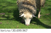 Овца ест молодую весеннюю траву. Крупный план. Стоковое видео, видеограф Виктор Карасев / Фотобанк Лори