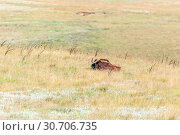 Купить «Black wildebeest laying in grass», фото № 30706735, снято 14 марта 2018 г. (c) easy Fotostock / Фотобанк Лори