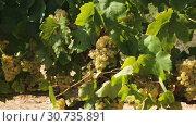 Купить «Close up view of ripe grapes in vineyard with blurred background», видеоролик № 30735891, снято 27 сентября 2018 г. (c) Яков Филимонов / Фотобанк Лори