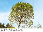 Купить «Ива ломкая шаровидная», эксклюзивное фото № 30736095, снято 10 мая 2019 г. (c) Александр Щепин / Фотобанк Лори