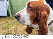 Купить «Portrait of a bloodhound dog», фото № 30736647, снято 10 августа 2018 г. (c) Акиньшин Владимир / Фотобанк Лори