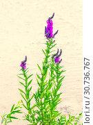 Купить «The herbaceous plant is a willowboot. Close-up.», фото № 30736767, снято 17 августа 2018 г. (c) Акиньшин Владимир / Фотобанк Лори