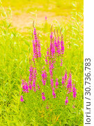 Купить «The herbaceous plant is a willowboot. Close-up.», фото № 30736783, снято 17 августа 2018 г. (c) Акиньшин Владимир / Фотобанк Лори