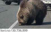 Купить «Камчатский бурый медведь попрошайка на автодороге», видеоролик № 30736999, снято 12 мая 2019 г. (c) А. А. Пирагис / Фотобанк Лори
