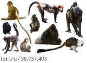 Купить «primates isolated on white», фото № 30737403, снято 17 сентября 2019 г. (c) Яков Филимонов / Фотобанк Лори