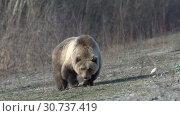 Купить «Грозный камчатский бурый медведь», видеоролик № 30737419, снято 12 мая 2019 г. (c) А. А. Пирагис / Фотобанк Лори
