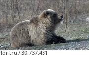 Купить «Камчатский бурый медведь отдыхает на камнях», видеоролик № 30737431, снято 12 мая 2019 г. (c) А. А. Пирагис / Фотобанк Лори