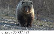 Купить «Камчатский бурый медведь», видеоролик № 30737499, снято 12 мая 2019 г. (c) А. А. Пирагис / Фотобанк Лори