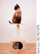 Купить «Two cats on small cat play tower or tree», фото № 30747879, снято 29 января 2020 г. (c) easy Fotostock / Фотобанк Лори
