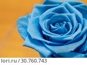 Купить «Close up of blue rose on yellow background», фото № 30760743, снято 19 мая 2019 г. (c) Pavel Biryukov / Фотобанк Лори