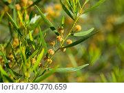 Купить «Acacia dodonaeifolia flowers», фото № 30770659, снято 27 июня 2019 г. (c) Яков Филимонов / Фотобанк Лори