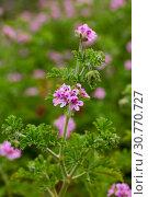 Купить «Flowers of Pelargonium», фото № 30770727, снято 16 июня 2019 г. (c) Яков Филимонов / Фотобанк Лори