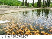 Искусственный пруд форелевого хозяйства с золотисто-янтарной рыбой в зеленой проточной воде. Стоковое фото, фотограф Наталья Гармашева / Фотобанк Лори