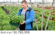 Купить «Confident experienced farmer working in greenhouse, engaged in cultivation of fragrant organic mint», видеоролик № 30780999, снято 26 апреля 2019 г. (c) Яков Филимонов / Фотобанк Лори