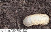 Купить «May bug larva in soil, timelapse», видеоролик № 30787327, снято 12 мая 2019 г. (c) Игорь Жоров / Фотобанк Лори