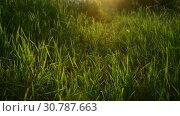Купить «Beautiful grass in backlight at sunset. Russia», видеоролик № 30787663, снято 28 июня 2018 г. (c) Володина Ольга / Фотобанк Лори