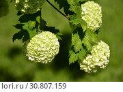 Купить «Калина декоративная Бульденеж, или Снежный шар (лат. Viburnum opulus var sterile)», эксклюзивное фото № 30807159, снято 18 мая 2019 г. (c) lana1501 / Фотобанк Лори