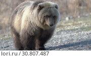 Купить «Камчатский бурый медведь», видеоролик № 30807487, снято 12 мая 2019 г. (c) А. А. Пирагис / Фотобанк Лори