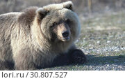 Купить «Камчатский бурый медведь лежит на камнях», видеоролик № 30807527, снято 12 мая 2019 г. (c) А. А. Пирагис / Фотобанк Лори
