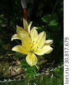 Купить «Желтые цветы лилии (Lilium) крупно на клумбе в саду», фото № 30817679, снято 23 июля 2011 г. (c) Елена Орлова / Фотобанк Лори