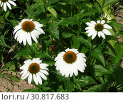 Купить «Цветы эхинацеи (Echinacea) в саду», фото № 30817683, снято 23 июля 2011 г. (c) Елена Орлова / Фотобанк Лори
