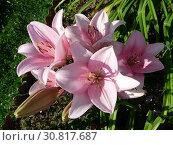 Купить «Розовые трубчатые лилии ( Lilium) в саду», фото № 30817687, снято 24 июля 2011 г. (c) Елена Орлова / Фотобанк Лори