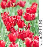 Много красных тюльпанов. Солнечный день весной. Стоковое фото, фотограф E. O. / Фотобанк Лори