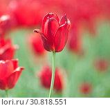 Красные тюльпаны (один из цветов крупным планом) в солнечный весенний день. Стоковое фото, фотограф E. O. / Фотобанк Лори