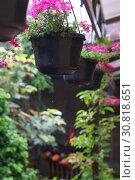 Купить «Тёмно-розовая садовая вербена», фото № 30818651, снято 25 мая 2019 г. (c) Марина Володько / Фотобанк Лори