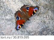 Купить «Бабочка Павлиноглазка (лат. Saturniidae) на камне», фото № 30819095, снято 22 июля 2018 г. (c) Елена Коромыслова / Фотобанк Лори
