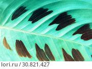 Купить «Маранта - листок крупным планом. Tropical maranta leaves. Maranta leuconeura, closeup of leaves. Maranta leuconeura is native to the Brazilian Rainforest», фото № 30821427, снято 5 мая 2018 г. (c) Зезелина Марина / Фотобанк Лори