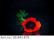 Купить «beautiful red blooming poppy flower isolated on black», фото № 30841879, снято 29 мая 2019 г. (c) Peredniankina / Фотобанк Лори