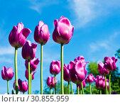 Пурпурные тюльпаны на фоне голубого неба в весенний солнечный день. Стоковое фото, фотограф E. O. / Фотобанк Лори