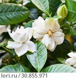 Белые цветы Гардении жасминовидной (Gardenia jasminoides) Стоковое фото, фотограф E. O. / Фотобанк Лори